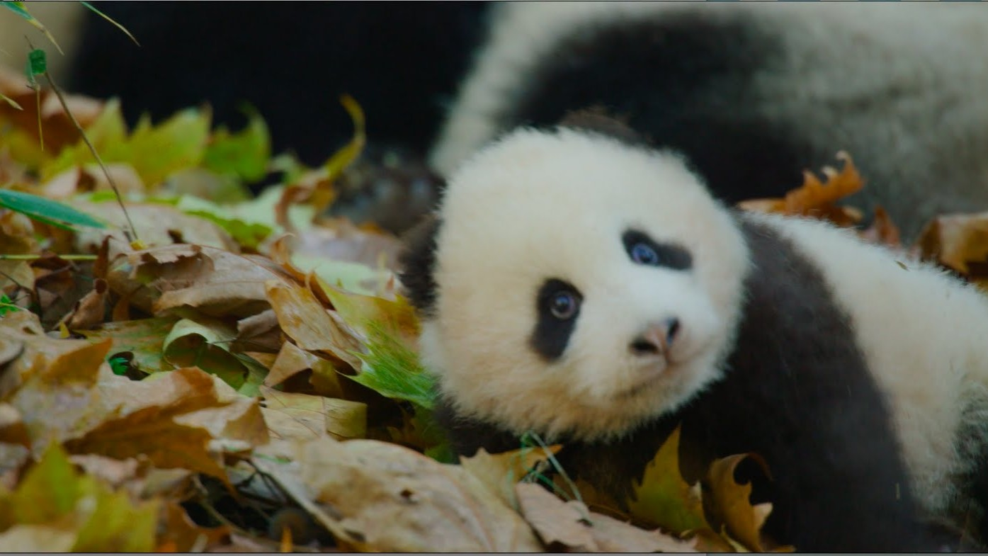 Disneynature's Born in China Official US Trailer