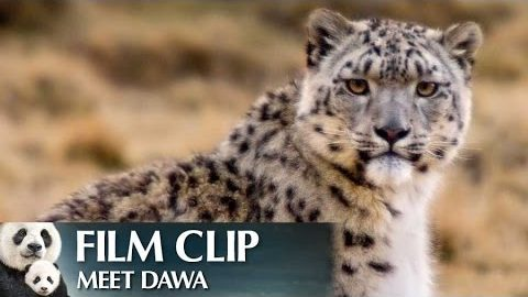 """Meet Dawa"" Clip – Disneynature's Born in China"