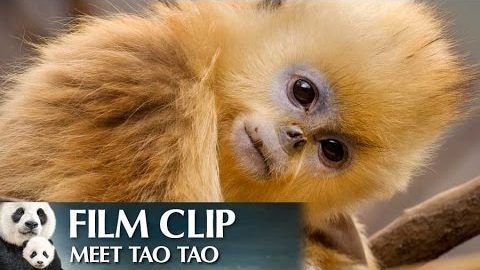 """Meet Tao Tao"" Clip – Disneynature's Born in China"