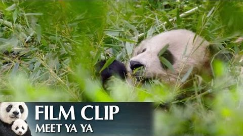 """Meet Ya Ya"" Clip – Disneynature's Born in China"
