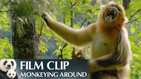 """""""Monkeying Around"""" Clip – Disneynature's Born in China"""