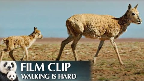 """Walking is Hard"" Clip – Disneynature's Born in China"